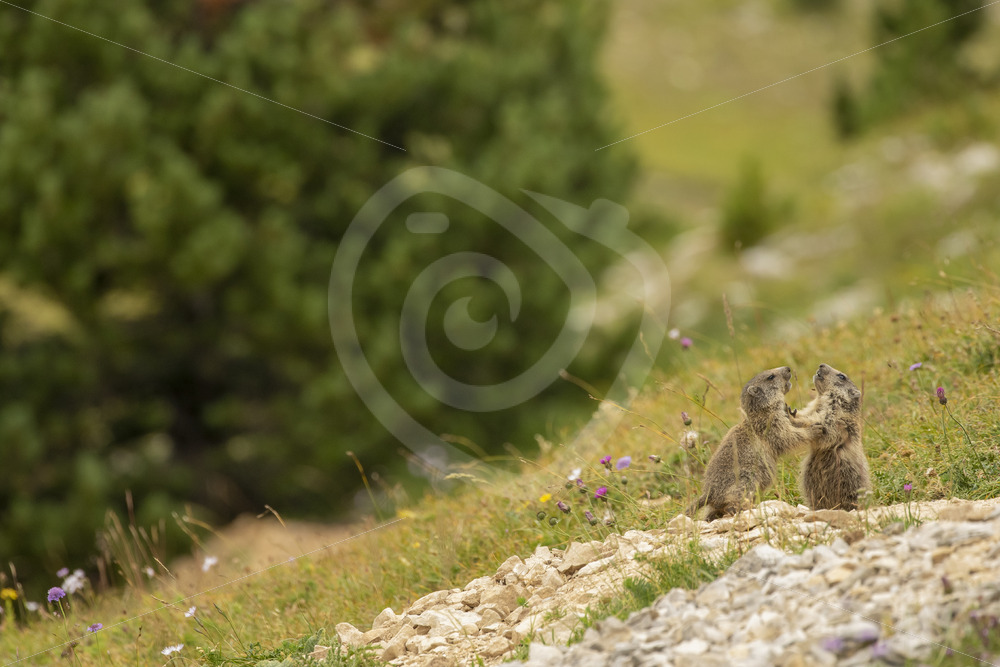 2 juvenile alpine marmots playing around - Nature Stock Photo Agency