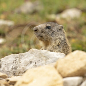Alpine marmot checking the environment - Nature Stock Photo Agency