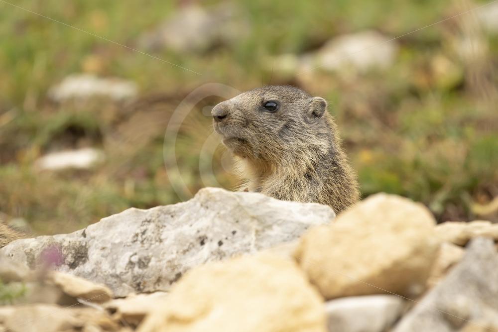 Alpine marmot checking the environment - Nature Stock Photo Agency