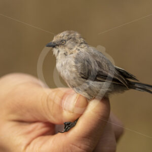 American bushtit hold by a researcher - Nature Stock Photo Agency