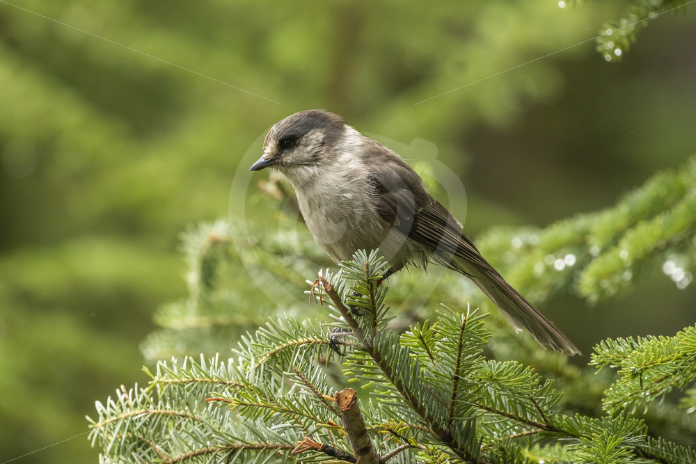 Canada Jay in a pine tree - Nature Stock Photo Agency