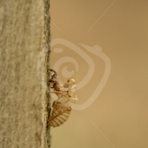 Cicada exoskeleton hanging on wood - Nature Stock Photo Agency