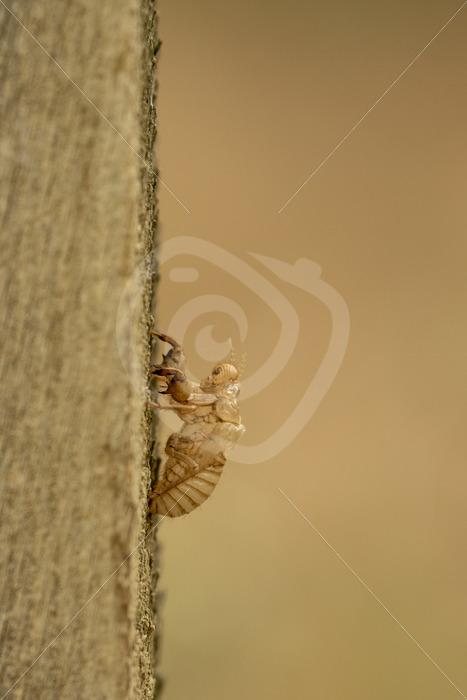 Cicada exoskeleton hanging on wood - Nature Stock Photo Agency