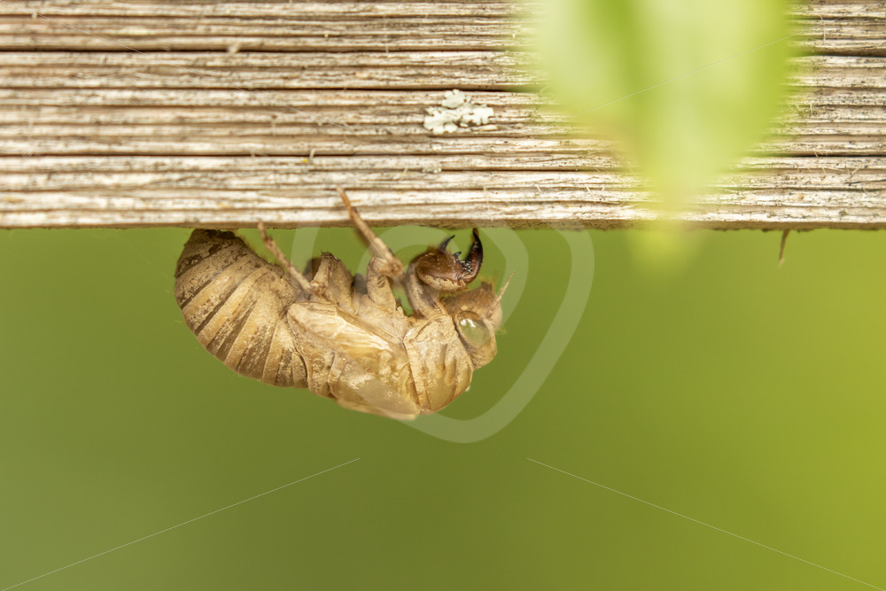 Cicada exuviae handing upside down - Nature Stock Photo Agency