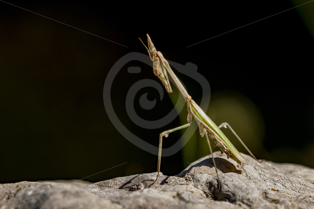Conehead mantis in praying position - Nature Stock Photo Agency
