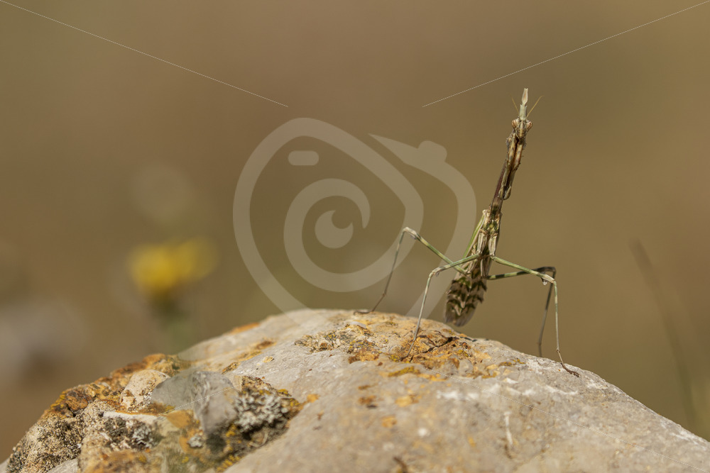 Conehead mantis looking straight into the lens - Nature Stock Photo Agency