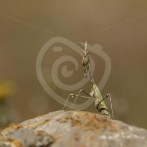 Conehead praying mantis posing on a rock - Nature Stock Photo Agency