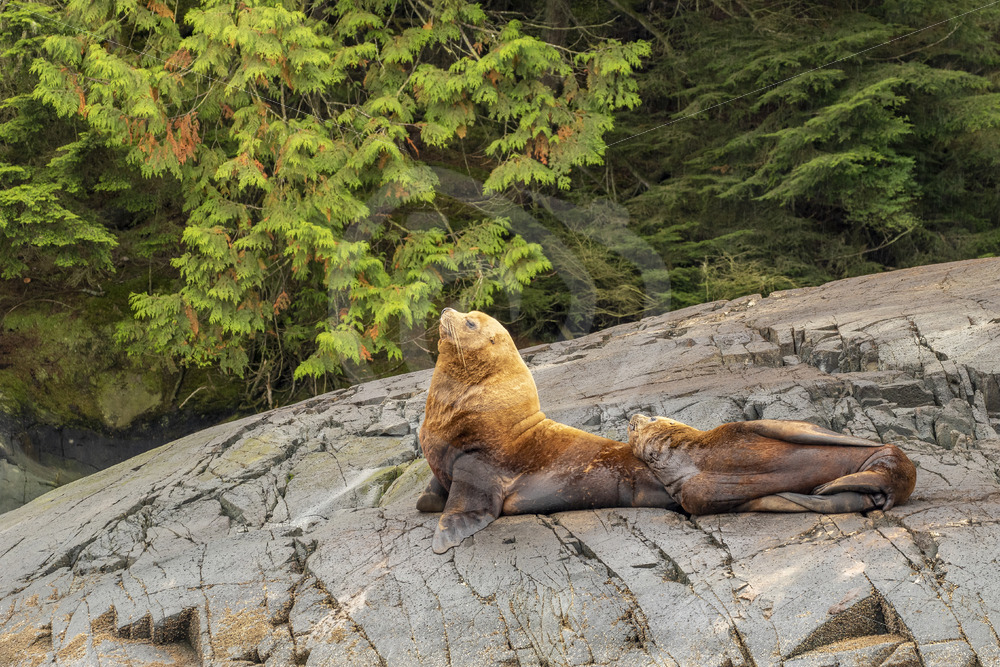 Couple of Steller's sea lions - Nature Stock Photo Agency
