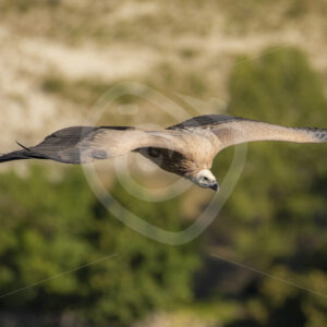 Griffon vulture caught in flight - Nature Stock Photo Agency