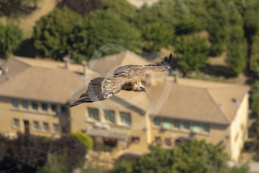 Griffon vulture flying over Rémuzat - Nature Stock Photo Agency