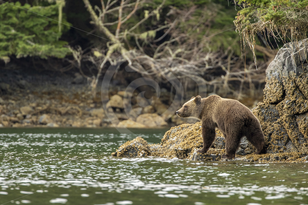 Grizzly bear crossing the shores - Nature Stock Photo Agency