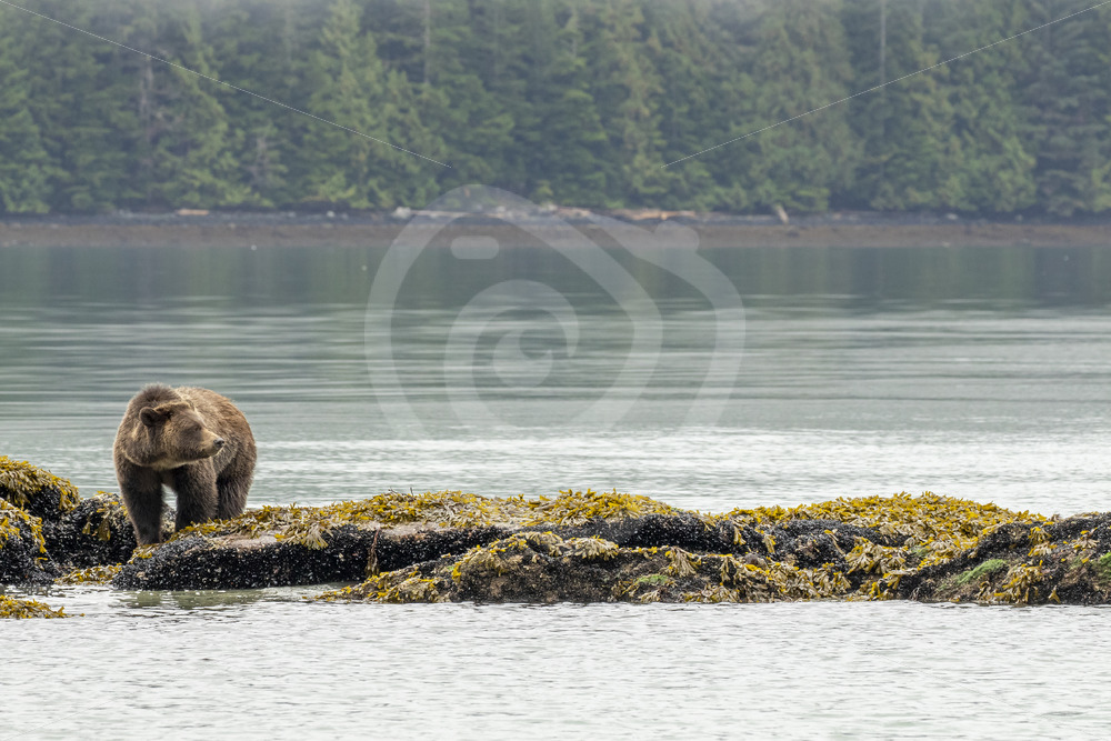 Grizzly bear searching for crustaceans - Nature Stock Photo Agency
