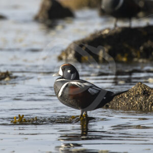 Harlequin duck on Botany Beach, Vancouver Island - Nature Stock Photo Agency