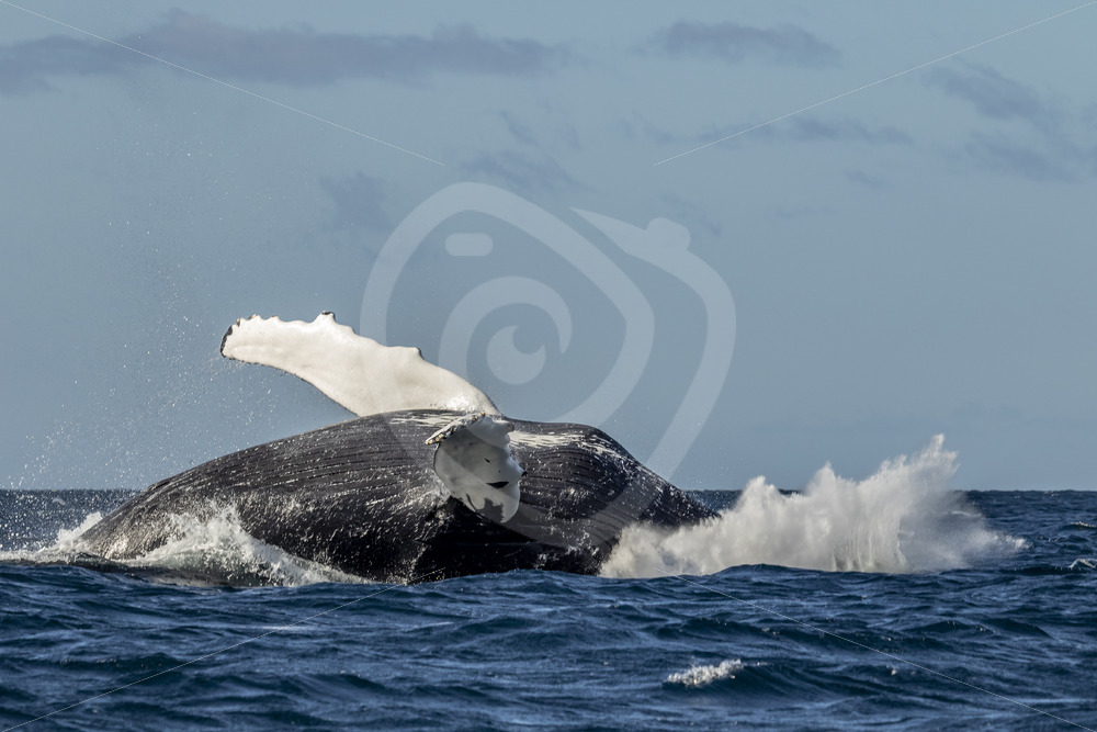 Humpback slapping down after a breach - Nature Stock Photo Agency