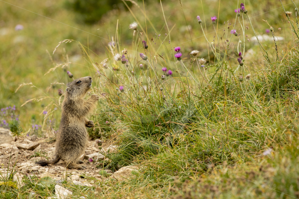 Juvenile marmot eating flowers - Nature Stock Photo Agency