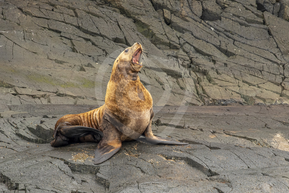Male Steller sea lion roaring - Nature Stock Photo Agency