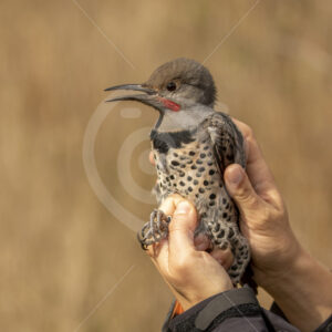 Northern flicker caught by a bird ringer - Nature Stock Photo Agency