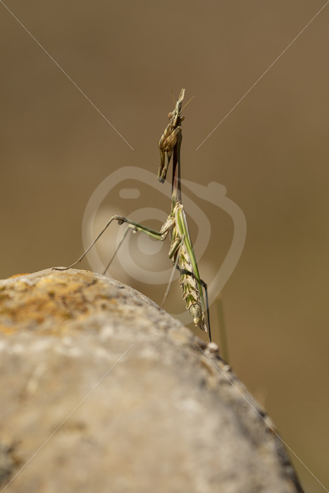 Praying mantis on top of a rock - Nature Stock Photo Agency