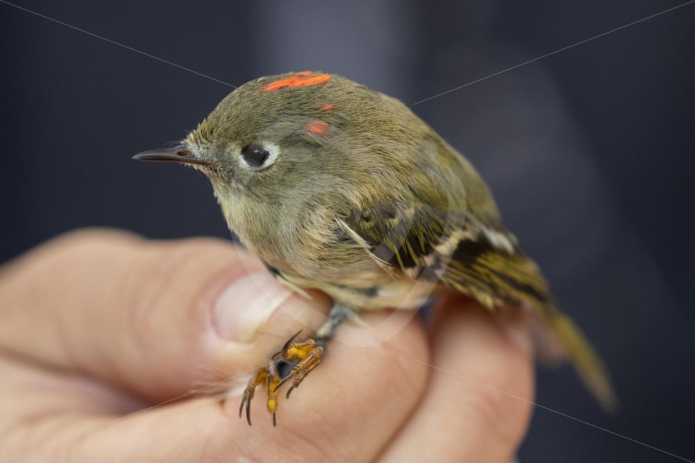 Ruby-crowned kinglet hold by a scientist - Nature Stock Photo Agency