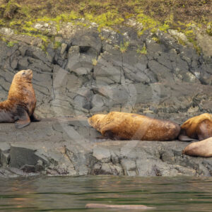 Small group of Steller's sea lion in Alert Bay - Nature Stock Photo Agency