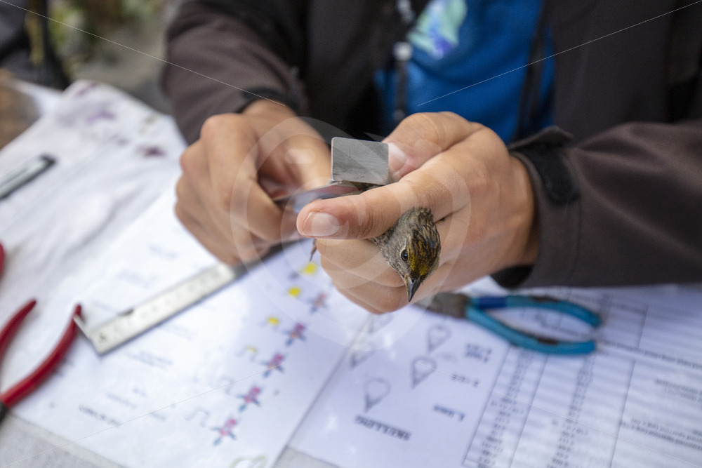 Song sparrow being measured by a scientist - Nature Stock Photo Agency