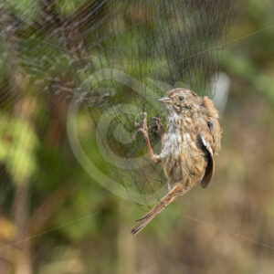 Song sparrow caught in a net by researchers - Nature Stock Photo Agency
