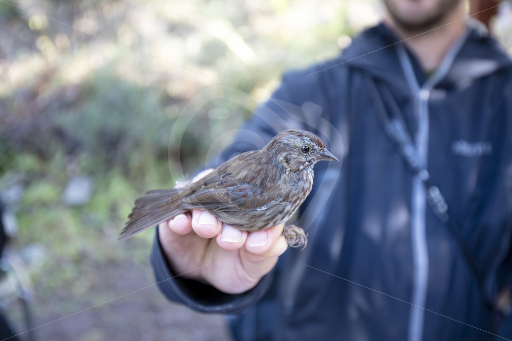 Song sparrow hold by the scientist after ringing - Nature Stock Photo Agency