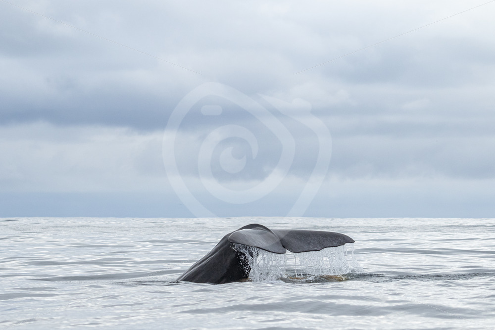 Sperm whale with a fluke an some pooh - Nature Stock Photo Agency