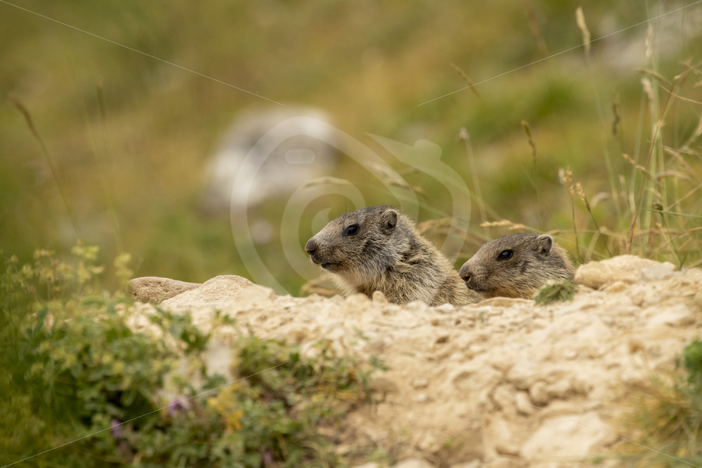 2 alpine marmots coming our of their nest - Nature Stock Photo Agency