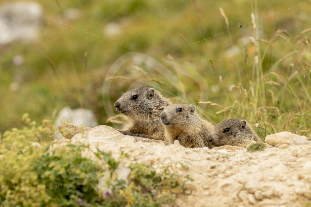 3 juvenile marmots coming our of their nest hole - Nature Stock Photo Agency
