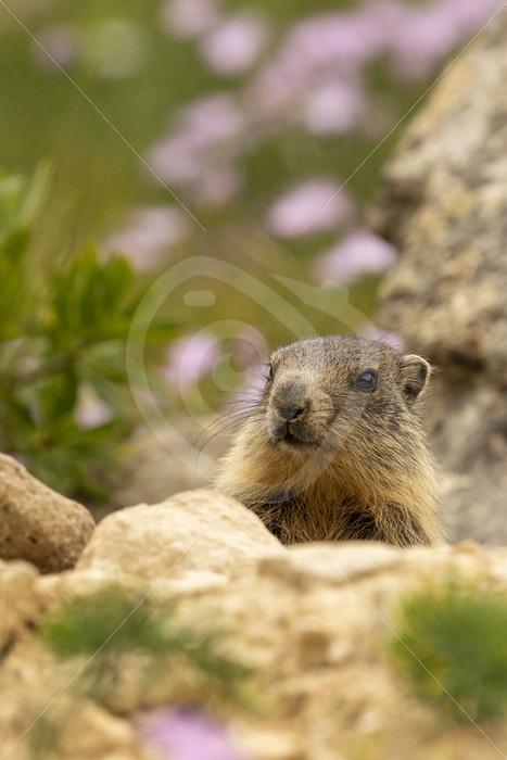 Alpine marmot checking the surroundings - Nature Stock Photo Agency