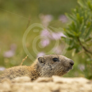 Alpine marmot peeking around the nest - Nature Stock Photo Agency