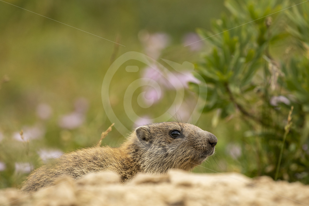 Alpine marmot peeking around the nest - Nature Stock Photo Agency