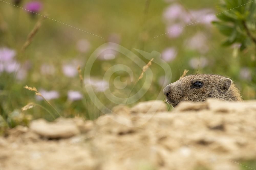 Alpine marmot peeking from its nest hole - Nature Stock Photo Agency
