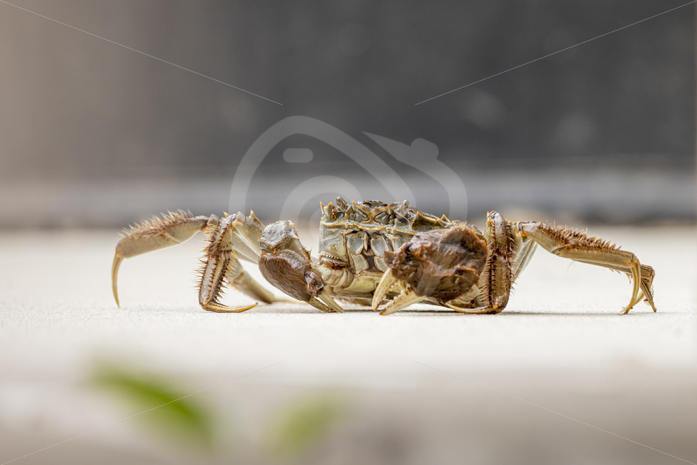 Chinese mitten crab crawling on the floor - Nature Stock Photo Agency