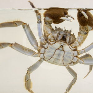 Chinese mitten crab in a research aquarium - Nature Stock Photo Agency