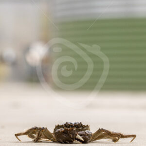 Chinese mitten crab in a research center on the floor - Nature Stock Photo Agency