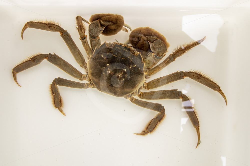 Chinese mitten crab in a research tank - Nature Stock Photo Agency