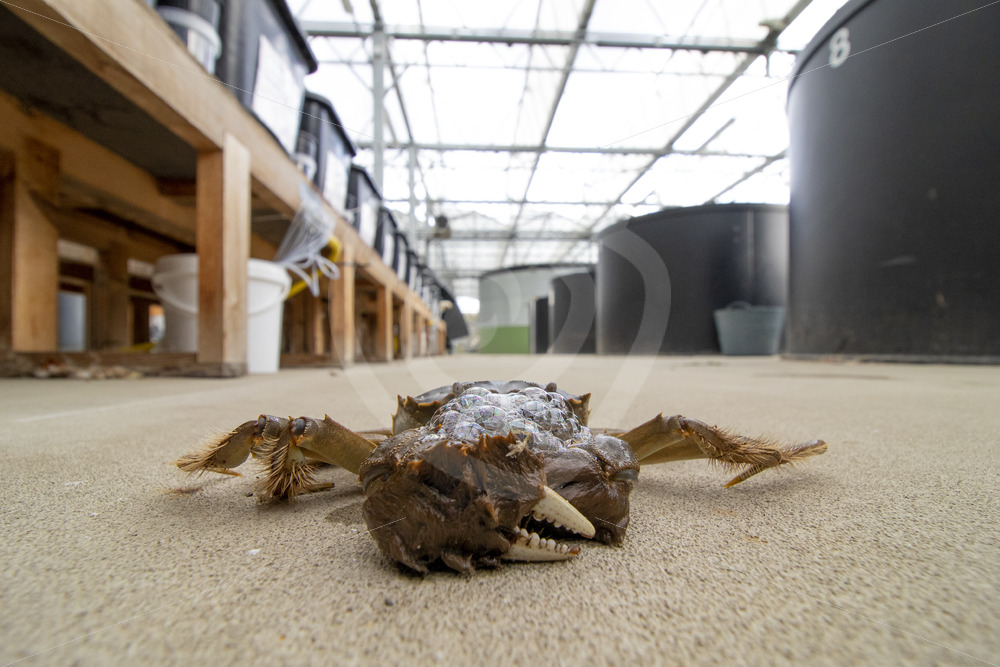 Chinese mitten crab next to the research pools in the university - Nature Stock Photo Agency
