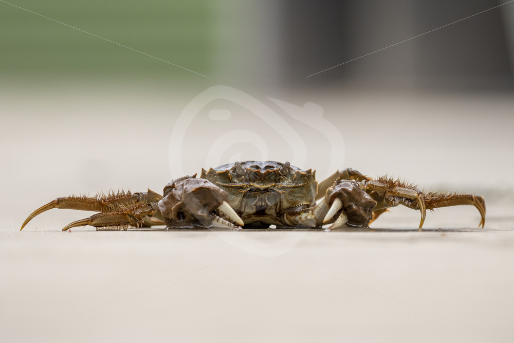 Chinese mitten crab on the floor - Nature Stock Photo Agency