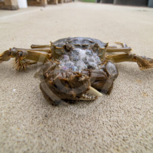 Chinese mitten crab on the floor of the research center - Nature Stock Photo Agency