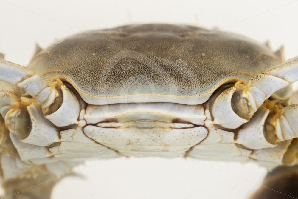 Chinese mitten crab shield in a research aquarium - Nature Stock Photo Agency