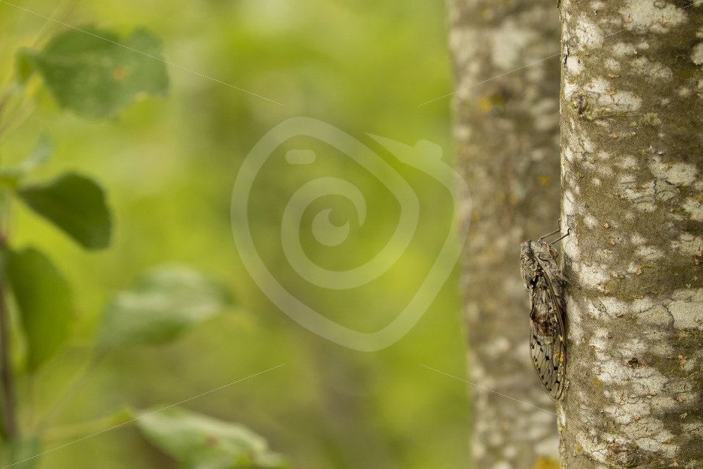 Cicada orni on a tree in the Provence, France - Nature Stock Photo Agency