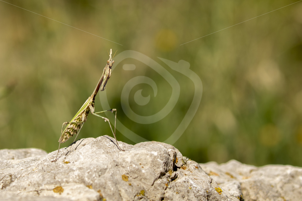 Conhead mantis checking the environment from a rock - Nature Stock Photo Agency