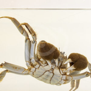 Mitten crab underwater in a research tank - Nature Stock Photo Agency
