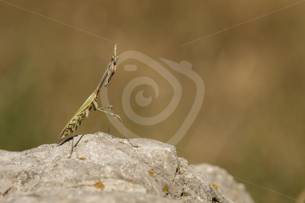 Praying mantis posing on a rock - Nature Stock Photo Agency