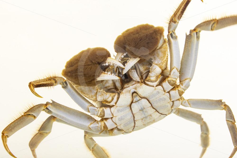 Shangai hairy crab in an aquarium - Nature Stock Photo Agency